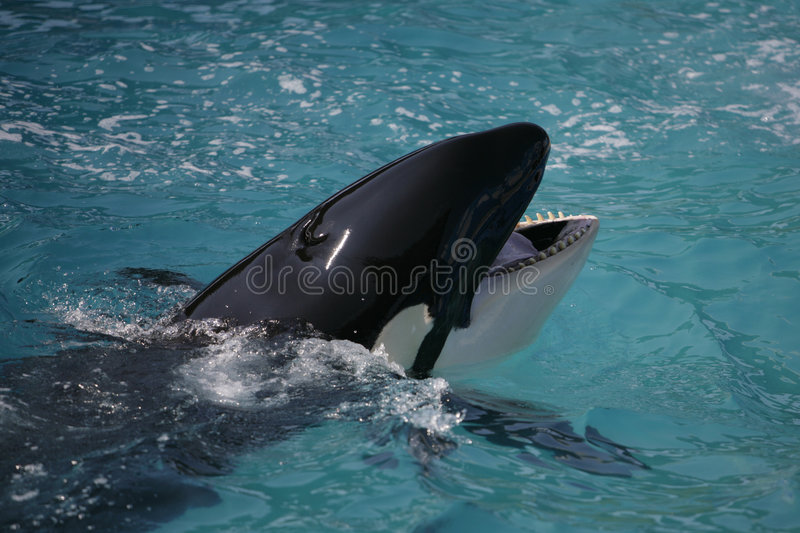 Killer Whale having fun in the ocean royalty free stock photo
