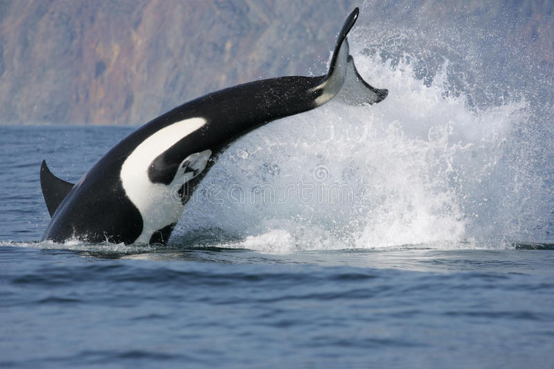 Killer Whale Hunting. Dynamic jump of killer whale hunting fish royalty free stock images