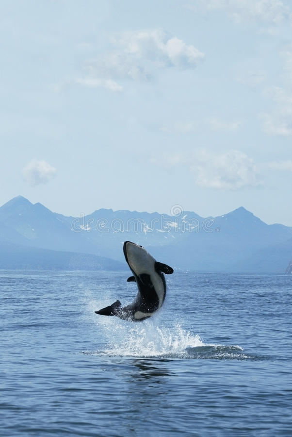 Free Killer Whale Joy Stock Images - 17473734