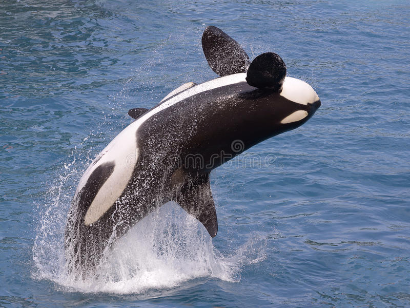 Killer whale jumping out of water. Killer whale (Orcinus orca) jumping out of the water royalty free stock photography