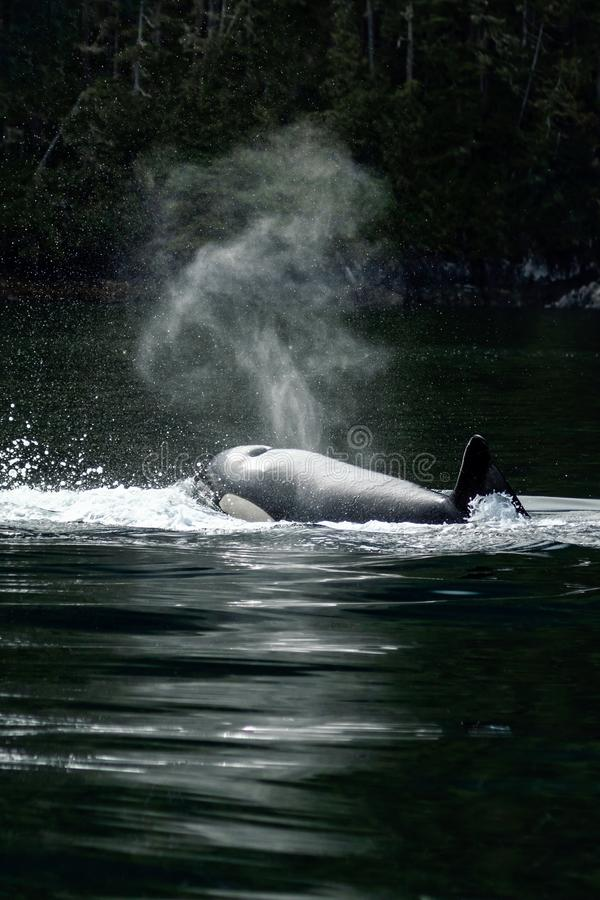 Killer Whale Orca coming up for breath royalty free stock photography