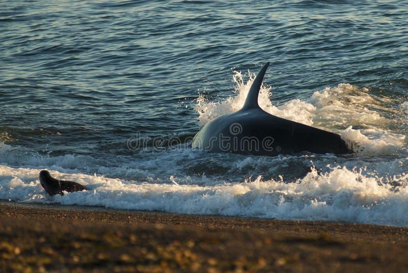 Killer Whale, Orca,. Hunting a sea lion pup, Peninsula Valdez, Patagonia Argentina stock photo
