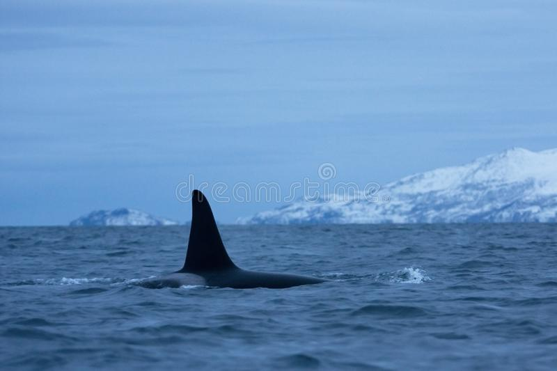 Killer whale, orca, orcinus orca. Swiming killer whale. Whale on the surface. Hunting killer whale. The dorsal fin of the whale. Winter in Norway. Norway coast royalty free stock photography