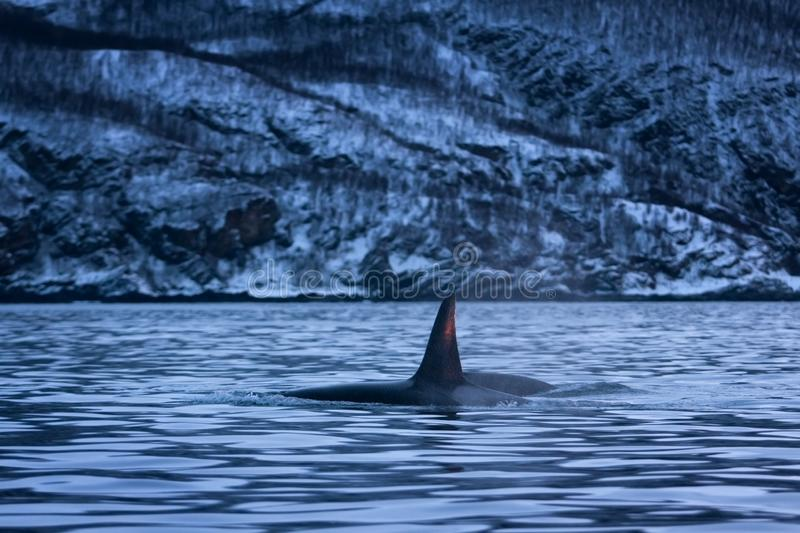Killer whale, orca, orcinus orca. Swiming killer whale. Whale on the surface. Hunting killer whale. The dorsal fin of the whale. Winter in Norway. Norway coast stock images