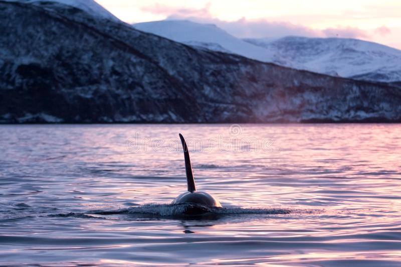 Killer whale, orca, orcinus orca. Swiming killer whale. Whale on the surface. Hunting killer whale. The dorsal fin of the whale. Winter in Norway. Norway coast stock photography