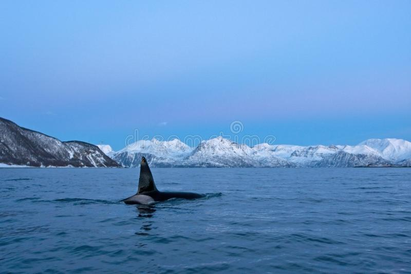 Killer whale, orca, orcinus orca. Swiming whale. Whale on the surface. Hunting killer whale. The dorsal fin of the whale. Winter in Norway. Norway coast. Back of stock photos