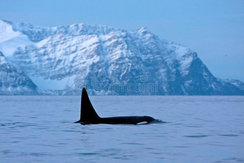 Killer whale, orca, orcinus orca. Swiming whale. Whale on the surface. Hunting killer whale. The dorsal fin of the whale. Winter in Norway. Norway coast. Back of stock photography