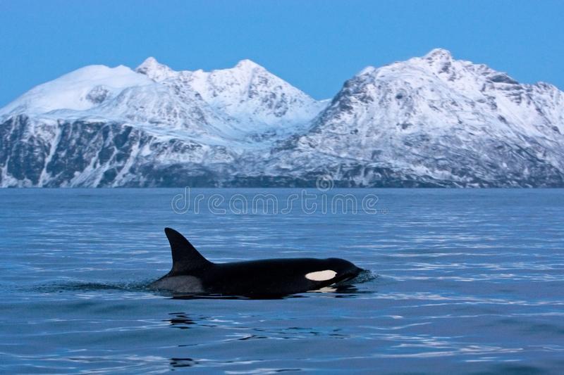 Killer whale, orca, orcinus orca. Swiming whale. Whale on the surface. Hunting killer whale. The dorsal fin of the whale. Winter in Norway. Norway coast. Back of stock image