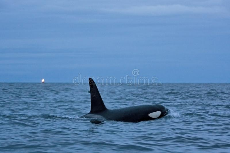 Killer whale, orca, orcinus orca. Swiming killer whale. Whale on the surface. Hunting killer whale. The dorsal fin of the whale. Winter in Norway. Norway coast stock photos