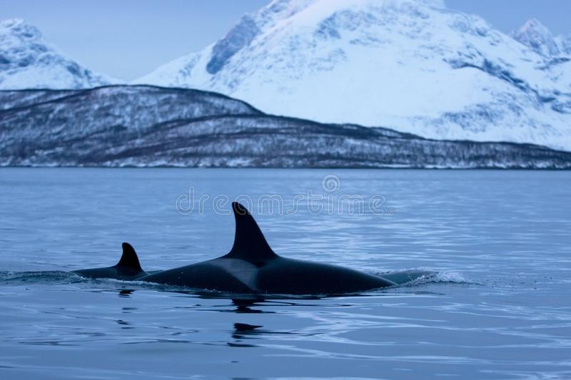 Killer whale, orca, orcinus orca. Swiming whale. Whale on the surface. Hunting killer whale. The dorsal fin of the whale. Winter in Norway. Norway coast. Back of royalty free stock photography