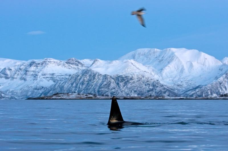 Killer whale, orca, orcinus orca. Swiming whale. Whale on the surface. Hunting killer whale. The dorsal fin of the whale. Winter in Norway. Norway coast. Back of royalty free stock photo