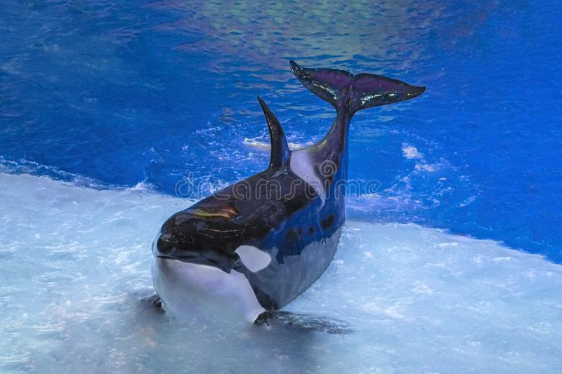Killer whale on performance in the large Oceanarium. Marine animals in front of the audience. stock photography