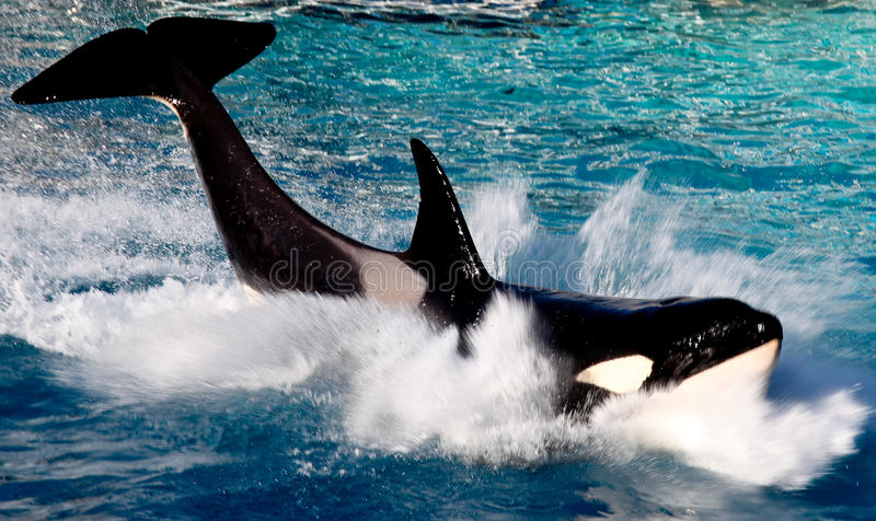 Killer whale portrait. Close up of a killer whale royalty free stock photos