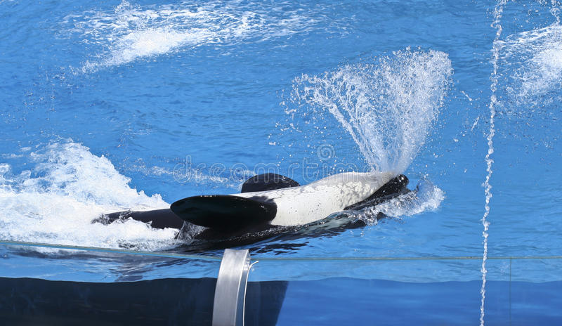 A Killer Whale Sprays Water from its Mouth stock photo