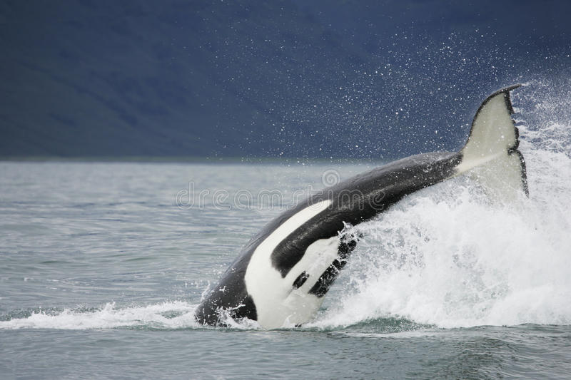 Killer whale tail. Killer whale hunting on salmon near in Northwest Pacific, Kamchatka stock photo