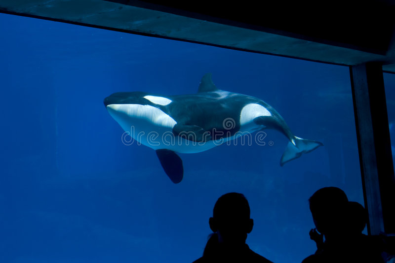 Killer Whale in tank royalty free stock images