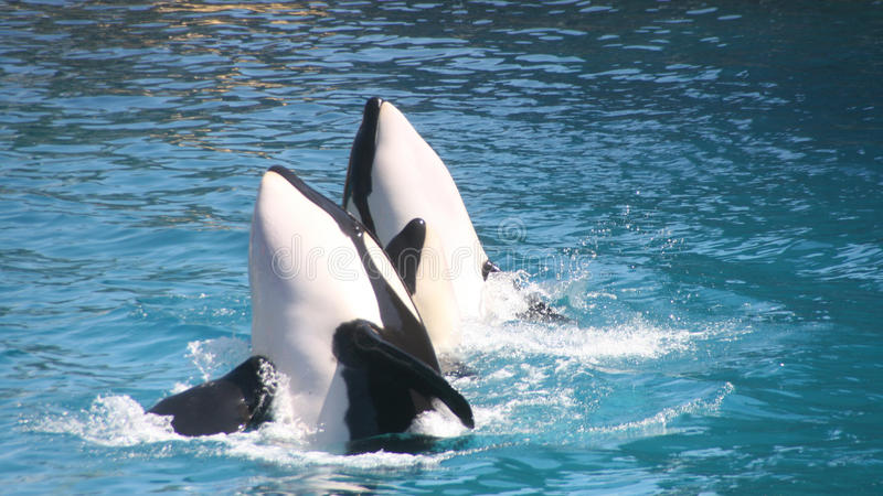 Download Killer whales stock image. Image of wildlife, ocean, couple - 26522427