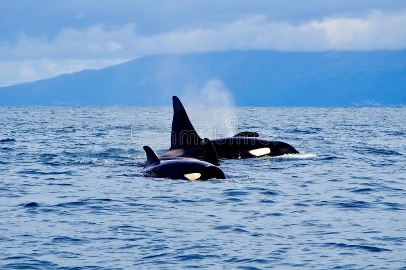 Top predators. Killer whales in the Azores royalty free stock image