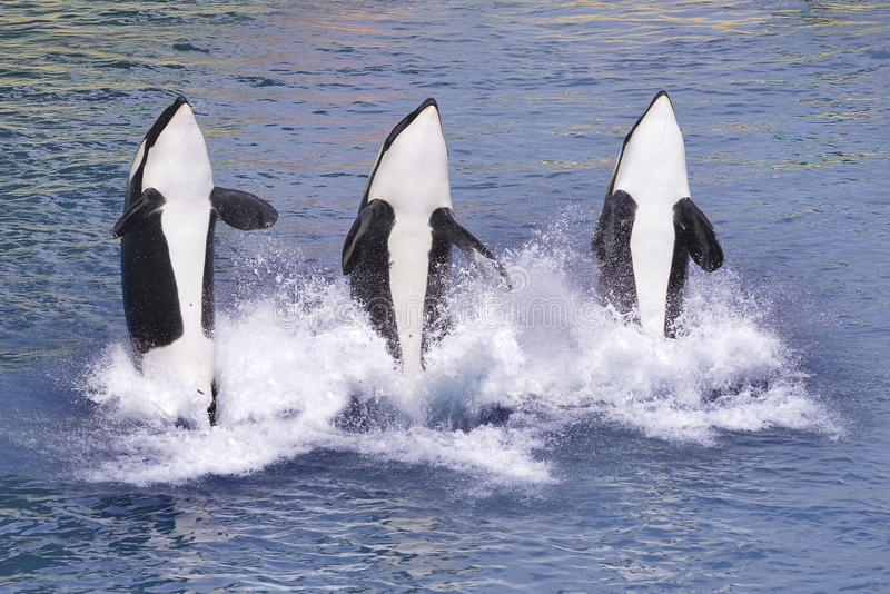 Killer whales jumping out of water. Three killer whales (Orcinus orca) jumping out of blue water stock photos