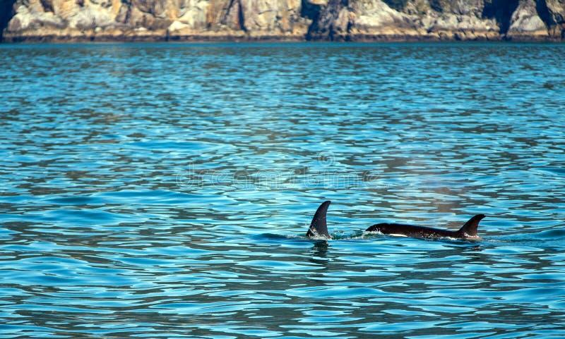 Two Killer Whales - Orcas - in Kenai Fjords National Park in Seward Alaska USA stock photo