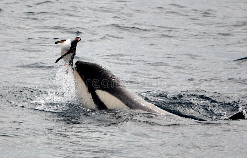 Killer Whales Playing with Penguin. Killer Whales Plays with Penguin before eating it royalty free stock photo