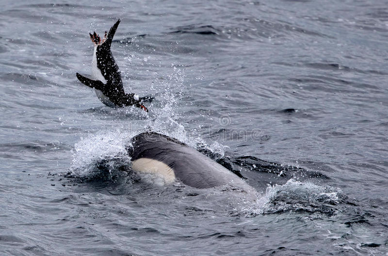 Killer Whales Playing with Penguin. Killer Whales Plays with Penguin before eating it royalty free stock photography