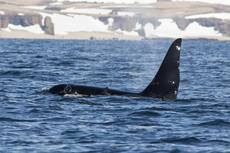 Killer whales swim along the shore of the Bering. Island stock images