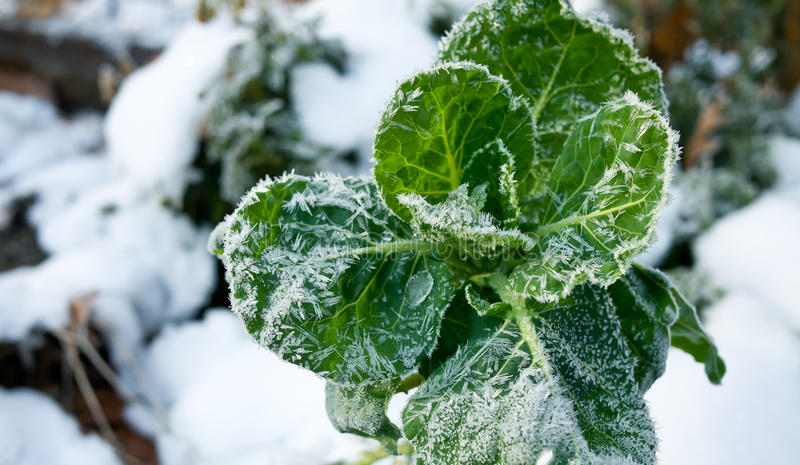 Killing Frost. A late autumn snowfall and early frost marks the change of seasons. Here a brussel sprout plant's growing season comes to an end stock image