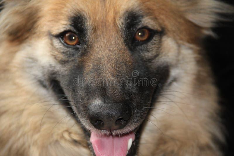 KIM German Shepherd imagem de stock royalty free