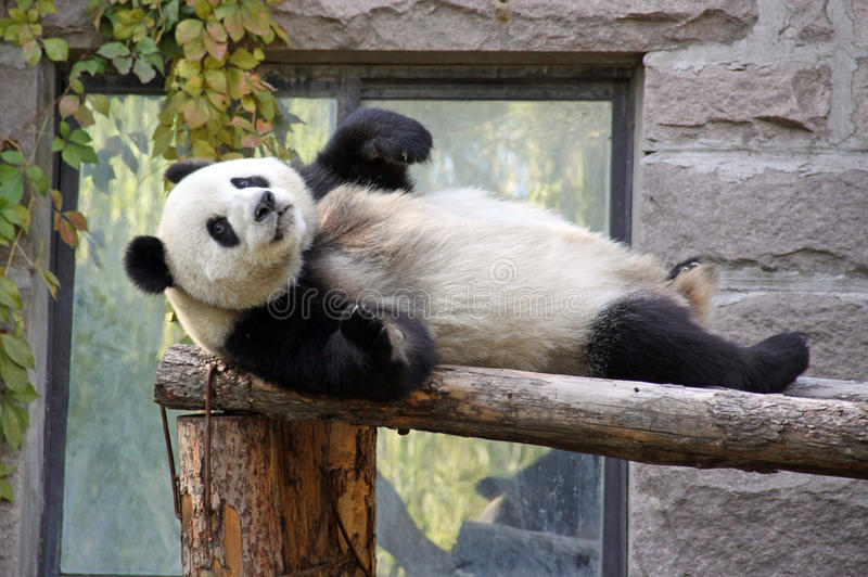 Kina Panda på Pekingzoo royaltyfri fotografi