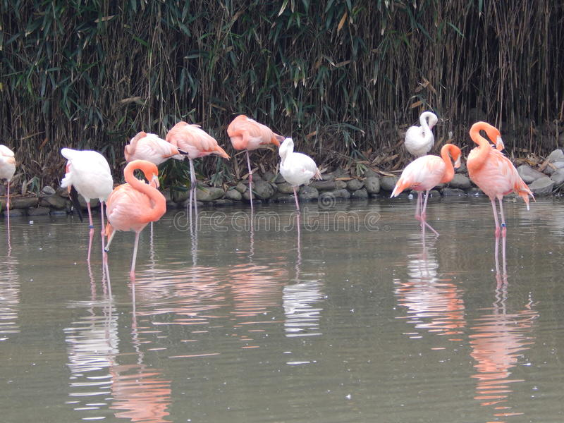 Kina Shanghai, stad Safari Park, flamingo arkivfoton