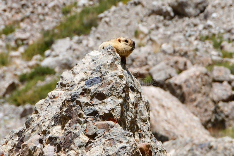 Kina Tibet Baybak, eller Babak eller gemensam st?ppmurmeldjurlat Marmotabobak p? en h?jd av omkring 5000 meter ovann?mnd havsniv? royaltyfri bild