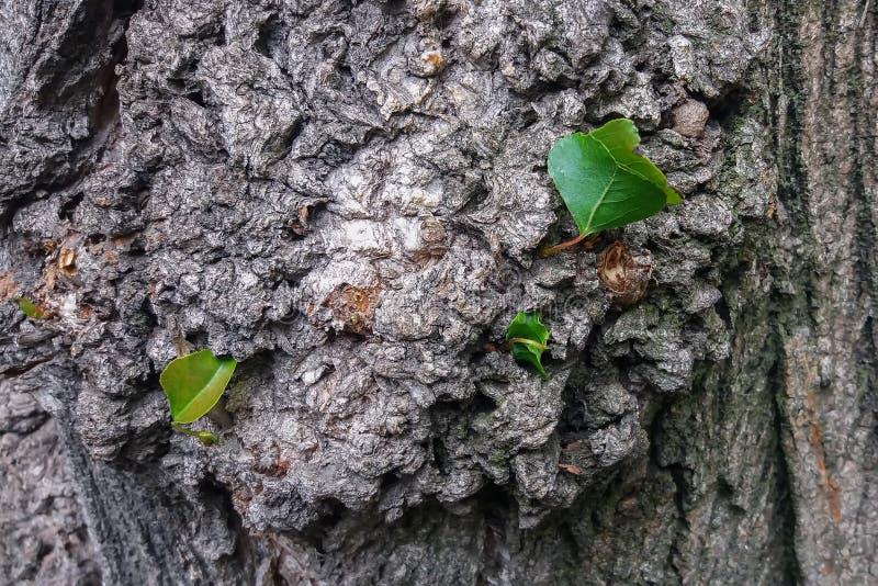 Kinaboomachtergrond, textuur Populierschors met jonge bladeren stock afbeelding