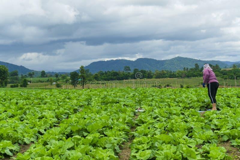 Kinakål är fullvuxen i en fullvuxen grönsaktäppa, kål, kinakål av växten på berget, Thailand arkivfoton