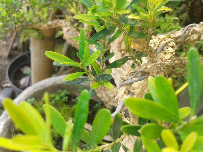 Kind of bonsai royalty free stock image