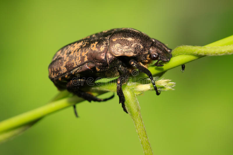 A kind of chafer. Closeup of beetles on green background royalty free stock photo