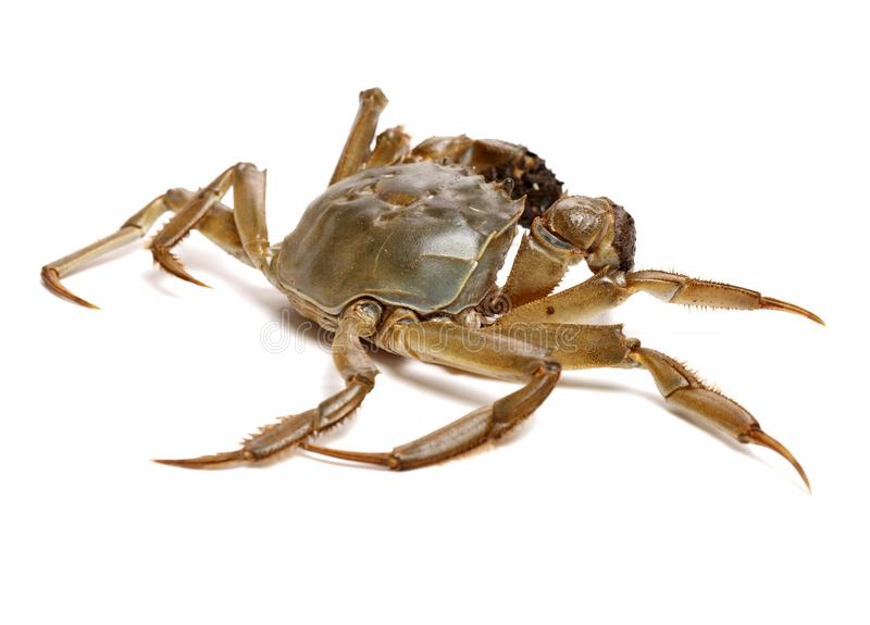 A kind of chinese mitten crab, living in rivers or lakes. The famous and popular crab in China is Yangcheng Lake hairy crab. Isolated on white background royalty free stock images