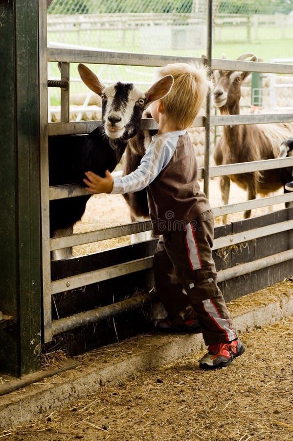 Kind, das eine Ziege umarmt. stockbilder