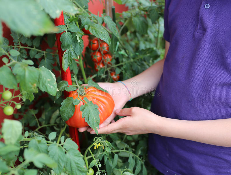 Kind die tomaten van een stedelijke tuin op balco manueel oogsten royalty-vrije stock foto