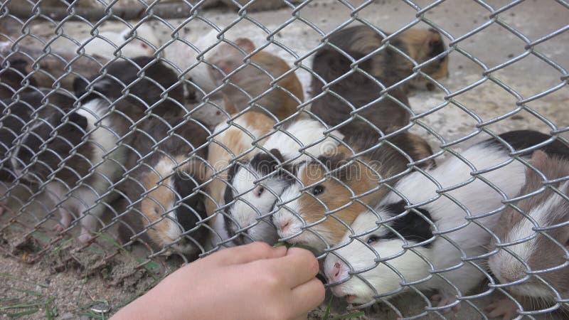 Kind in Dierentuinpark, Meisjes Voedende Proefkonijnen, Jonge geitjesliefde de Huisdierenzorg van Verzorgingsdieren stock fotografie