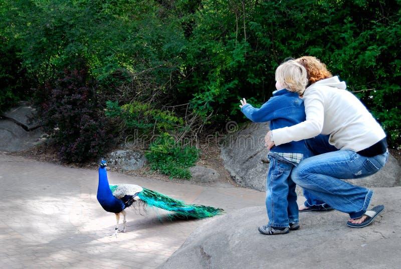 Kind en Moeder bij Dierentuin met Pauw stock afbeeldingen