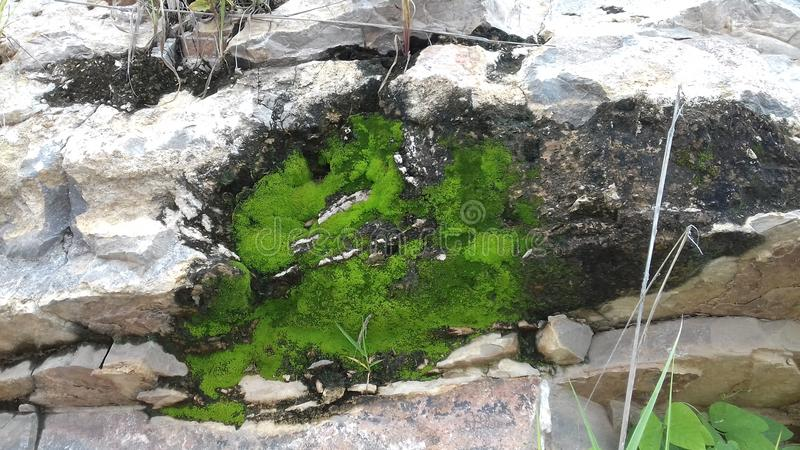 The kind of green small plant on the rock mountain stock images