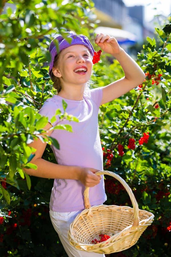 Kind het oogsten bessen in tuin van struik stock foto's