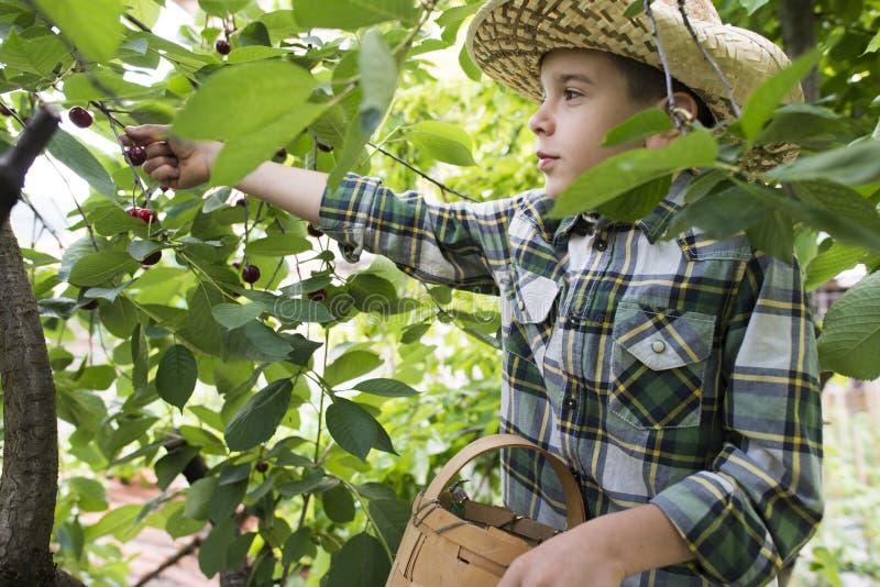 Kind het oogsten Morellen stock afbeelding