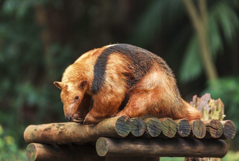 A Southern Tamandua in Zoo of Sao Paulo, Brazil stock photos