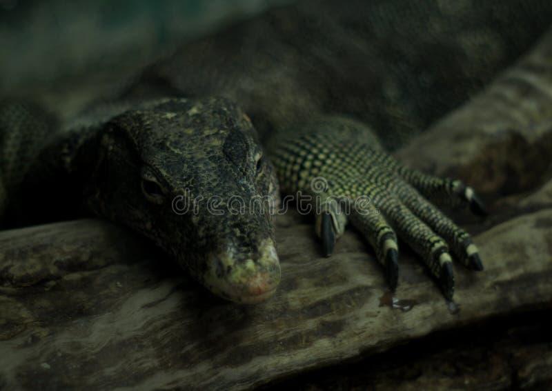 Kind of water monitor reptile animal looks like Varanus salvator lizard dragon stock photo
