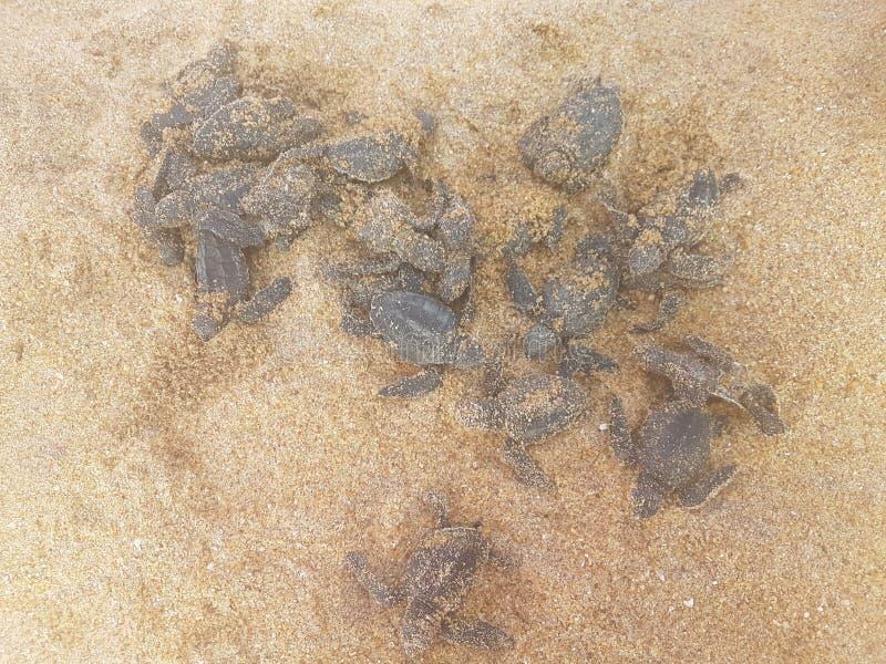 Kinder brüteten eben Schildkröte in den Händen des Mannes in Bentota, Sri Lanka aus stockfoto