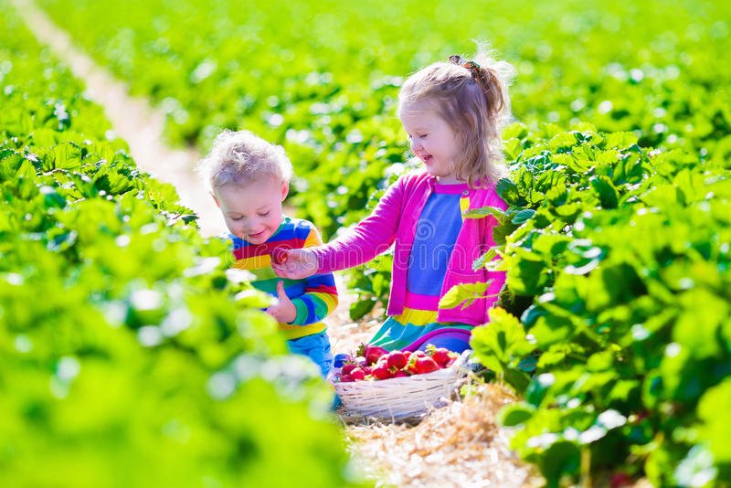 Kinder, die frische Erdbeere auf einem Bauernhof auswählen lizenzfreies stockfoto