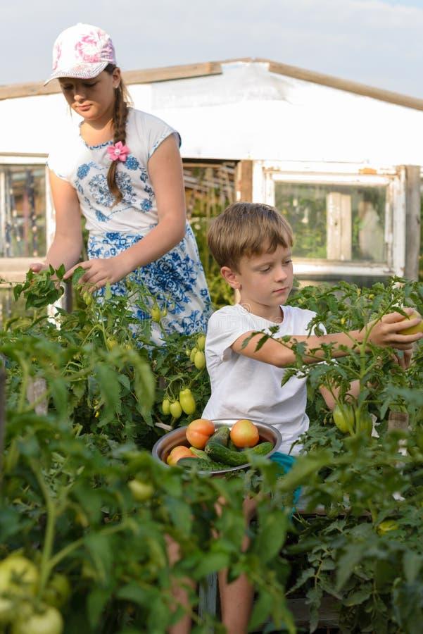 Kinder erfassen Jungen der Gemüseernte A und ein Mädchen arbeiten lizenzfreies stockbild