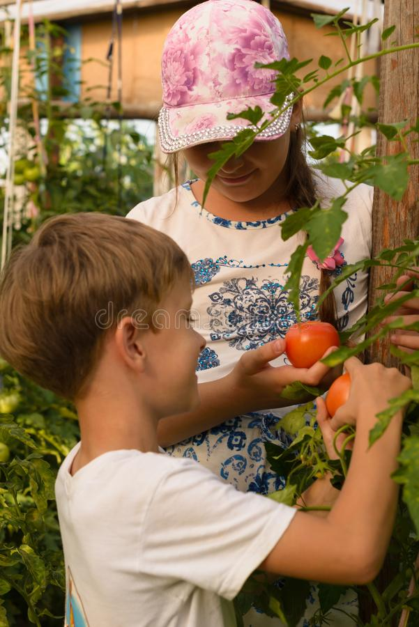 Kinder erfassen Jungen der Gemüseernte A und ein Mädchen arbeiten lizenzfreie stockfotos